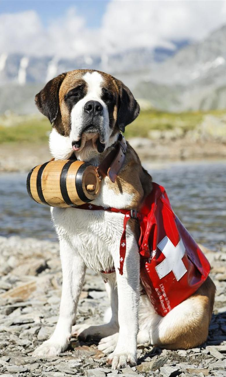 St. Bernard - a dog born in the Alps